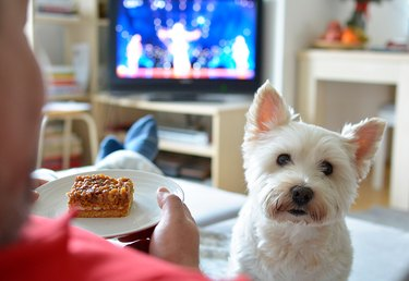 Westie looking at camera as person watches TV holding snack