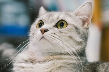 Gray and white tabby cat looking surprised