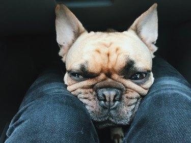 French bulldog squishing its face between POV's knees