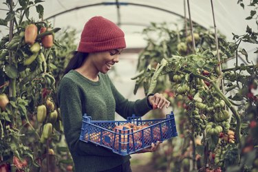 Young black woman collecting vine tomatoes from community allotment