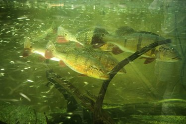 Aquarium fish in tank