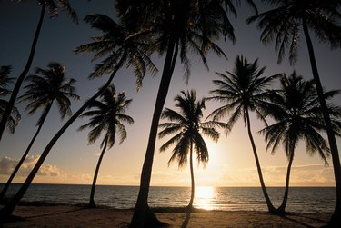 Silhouette of palm trees at sunset , Andros , Bahamas