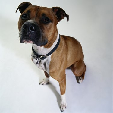 American Staffordshire Terrier, elevated view