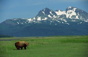 Grizzly bear in grass field , Alaska