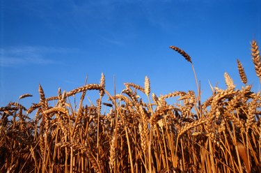 Field of wheat, low angle view