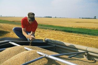 Man examining harvested grain
