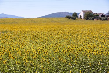 Scenic sunflower field with farm building in the background.