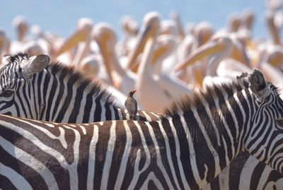Zebras, storks and another bird in Kenya