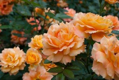 Rose in the garden, daniel gelin