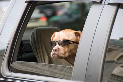 Dog Looking Through Car Window