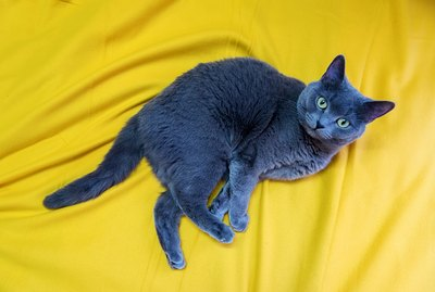 Gray cat, Scottish Stride, lies on a mustard-yellow blanket