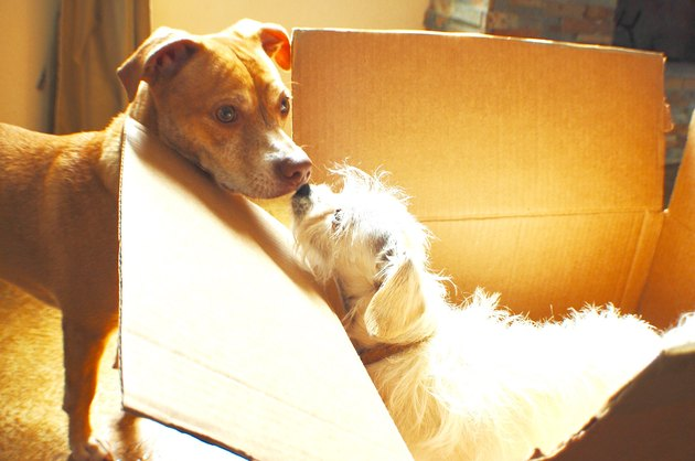 Small white dog in moving box sniffs another dog