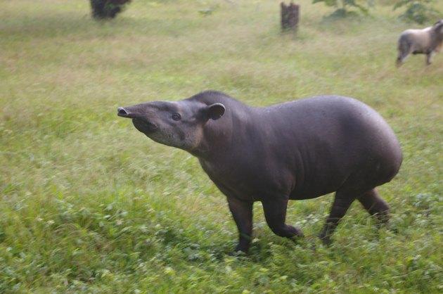 Adult tapir walking through grass