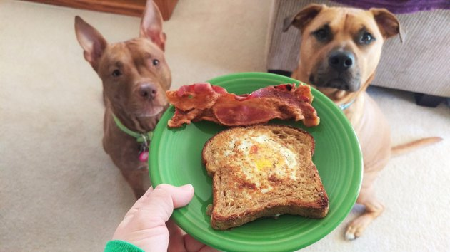 Two dogs looking hopefully at a plate of bacon and toast