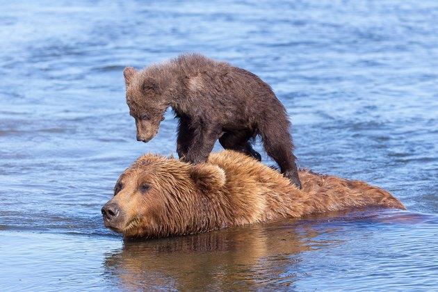 Bear cub riding older bear swimming