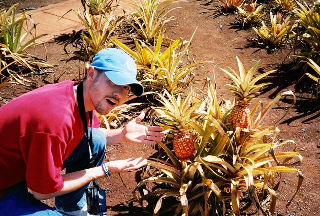 White man gestures to pineapples growing outside