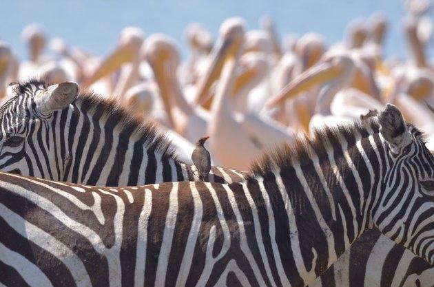 Zebras, storks and another bird in Kenya