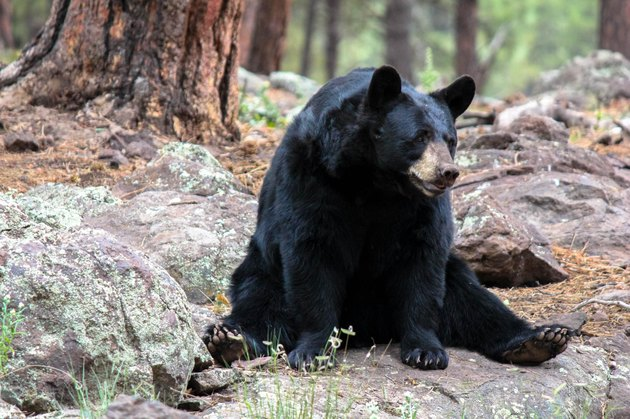 Black bear sitting among rocks in a forest