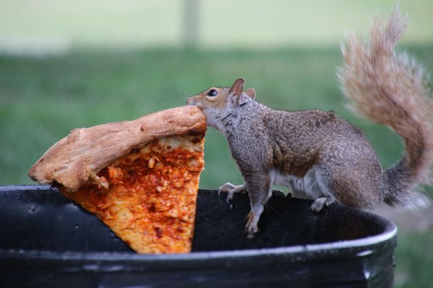 Squirrel stealing slice of pizza from city trashcan