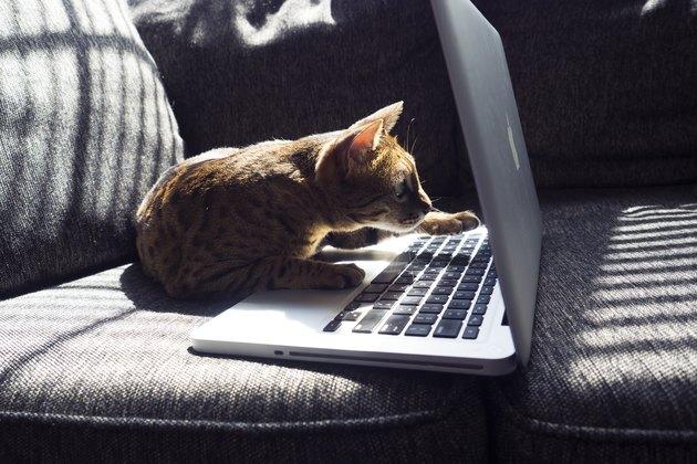 Cat examining laptop screen
