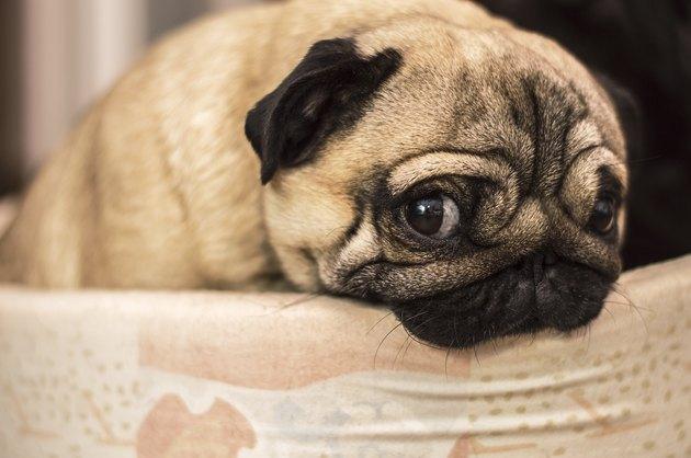 sad sorry guilty dog pug