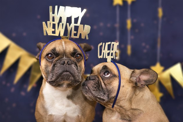 Funny French Bulldog dogs wearing golden party celebration headbands with words 'Happy new year' and 'cheers' in front of blue background