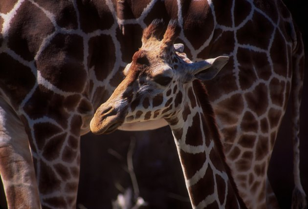 Baby Giraffe With Its Mother