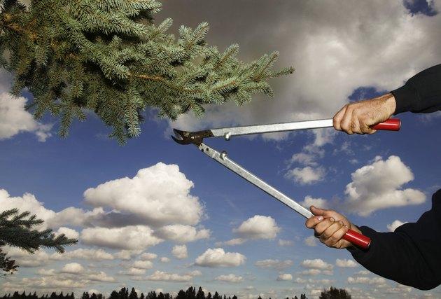 Arborist clipping pine tree