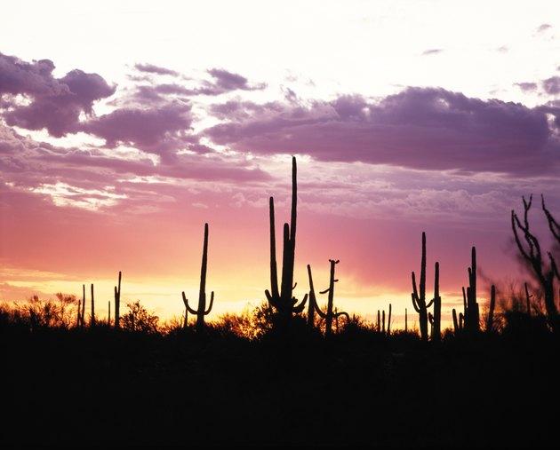 Silhouetted plants at sunset,   Saguaro National Park,  Arizona,  USA