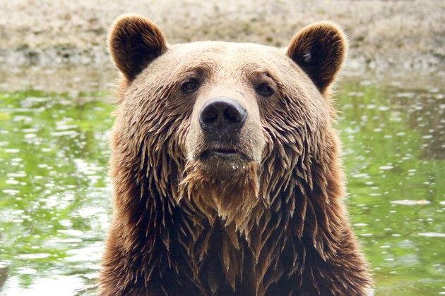 Brown bear looking at the camera
