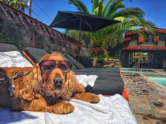 Cocker spaniel wearing sunglasses lounging poolside