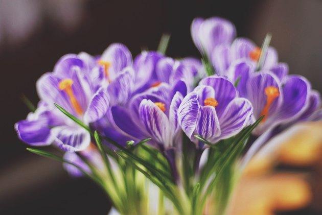 Closeup of purple crocuses