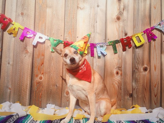 Chihuahua wearing party hat in front of birthday bunting