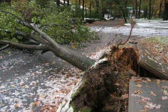 Tree Roots That Are Extensive May Threaten Sidewalks